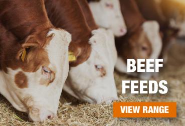 Beef Feed